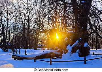 美しい, 日没, 中に, a, 冬, 森林