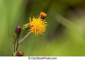美しい, 春の花, 背景, 黄色