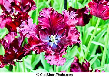 美しい, 春, flowers., チューリップ