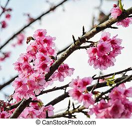 美しい, 桜