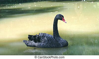 美しい, 池, 白鳥, 黒, 水泳