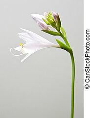 美しい, 灰色, 花, hosta, 背景, 白