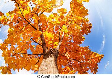 美しい, 王冠, 秋, 木, かえで