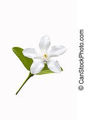 美しい, 白い花, 葉