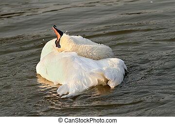 美しい, 白鳥, 日没