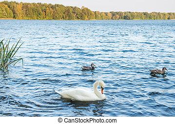 美しい, 白鳥, 湖