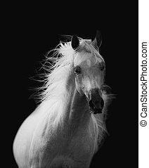 美しい, 白, アラビアの馬