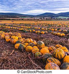 美しい, 秋風景, フィールド, カボチャ, sunset., hungary.