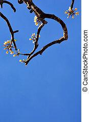 美しい, 空, 花, 青, plumeria