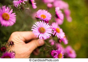 美しい, 紫色の 花, 手, 屋外で