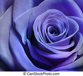 美しい, 紫色, バラ