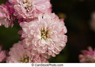 美しい, 紫色, 菊, 花, 秋, 金 背景