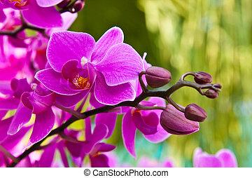 美しい, 紫色, 蘭, ぐっと近づいて