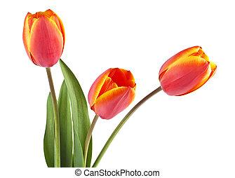 美しい, 花束, 春, バックグラウンド。, tulip., 白い花