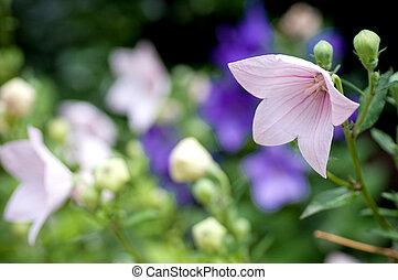 美しい, 花, すみれ