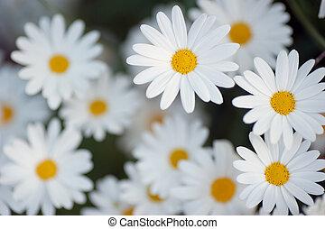 美しい, 花, マーガレット
