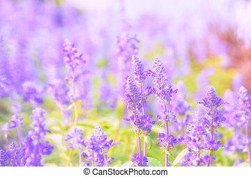 美しい, 花, salvia, 背景, focus), farinacea, benth.(soft