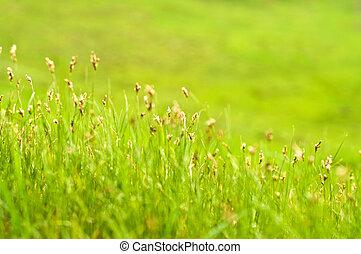 美しい, 草, 緑の背景, ぼんやりさせられた