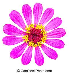 美しい, 菊, 花, -