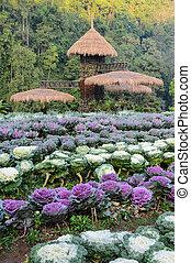 美しい, 装飾用のキャベツ, 庭, 現場