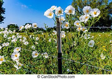 美しい, 野生の花, (argemone, とげだらけである, ケシ, 白, albiflora), テキサス