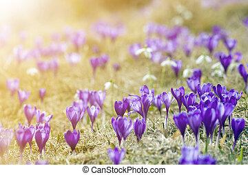 美しい, 金, クローズアップ, carpathian, 山, 春, concept., 自然, 日当たりが良い, ぼんやりさせられた, 花, バックグラウンド。, 明るい, 保護, すみれ, 咲く, クロッカス, 朝, 最初に