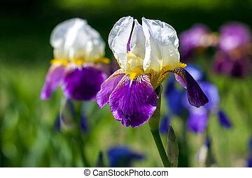 美しい, 青, カラフルである, 春, 公園, ぼやけた背景, 白い花