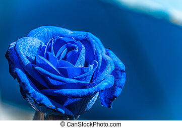 美しい, 青, バラ, 上に, 青い背景