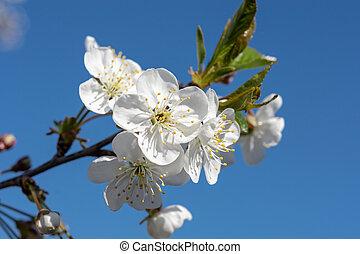 美しい, 青, ブランチ, さくらんぼ, 空, 白い花
