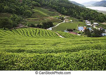 美しい, 韓国, お茶, フィールド, boseong, 緑, 南