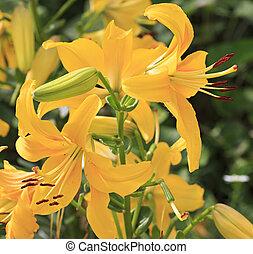 美しい, 黄色のユリ, 中に, ∥, garden.