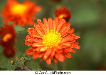美しい, 黄色, そして, オレンジ, 菊, 花, 秋, 金 背景