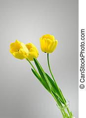 美しい, 黄色, チューリップ, 上に, a, ニュートラル, 強くされた, 背景