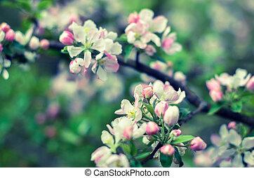 美しい, cherry., ウクライナ, 背景, 花が咲く, 花