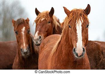美しい, purebred, 馬