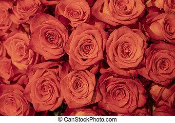 美しい, roses., 赤