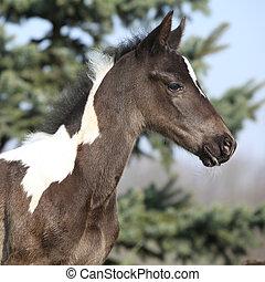 美しい, skewbald, 子馬, 春