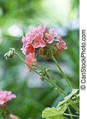 美丽, 天竺葵, 花