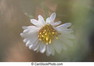 美丽, 柔软, 雏菊
