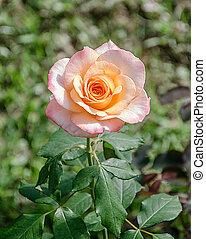 美丽, 桔子rose, 在花园