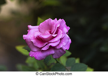 美丽, 粉红升高, 在花园