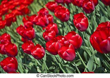 美丽, 花, 红, 郁金香, 在公园中
