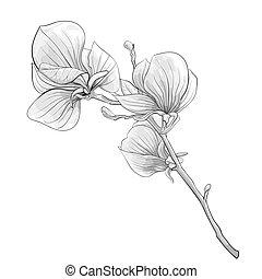 美丽, 花, isolated., 木兰, 开花, 树。, 黑色, 白色, 细枝, 单色