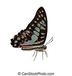 美丽, 蝴蝶, 白的背景