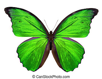 美丽, 蝴蝶, 白色, 隔离