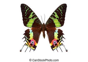 美丽, 蝴蝶, 白色, 隔离, 背景