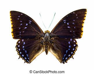 美丽, 蝴蝶, 隔离