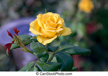 美丽, 黄色升高, 蓓蕾, 在花园