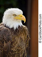 美國人, 海鷹