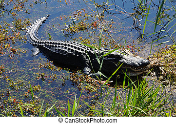 美國短吻鱷, 在, the, everlades, 佛羅里達